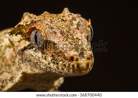 Gargoyle Gecko (Rhacodactylus auriculatus),on a branch, staring at the camera against a black background. Native to New Caledonia - stock photo