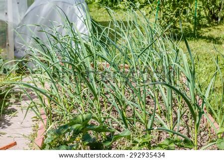Garlic (Allium sativum)  growing in seedbed. It is a species in the onion genus. Vegetable garden. Household plot. Dacha. - stock photo