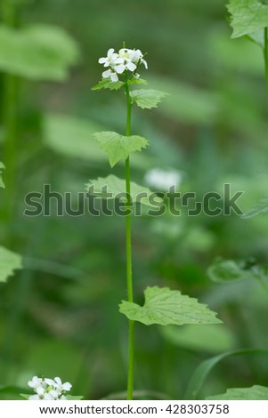 Garlic mustard, Alliaria petiolata, the fresh leafs of this plant can be used in salads