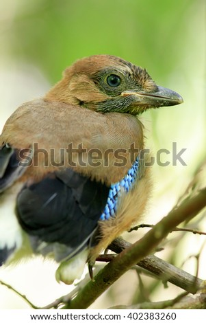 Garrulus glandarius. The  Jay in nature. Moscow region, Russia. young bird