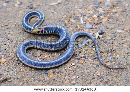 Garter Snake - stock photo