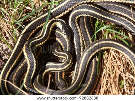 Garter Snakes mating - stock photo