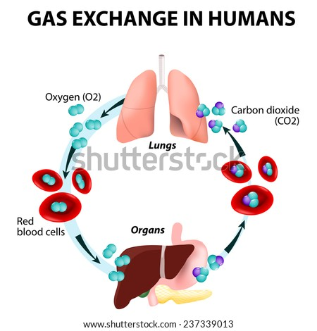 Gas exchange humans path red blood stock illustration 237339013 gas exchange in humans path of red blood cells oxygen transport cycle both ccuart Choice Image