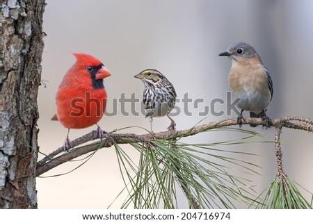 Gathering of Birds in Pine Tree - stock photo