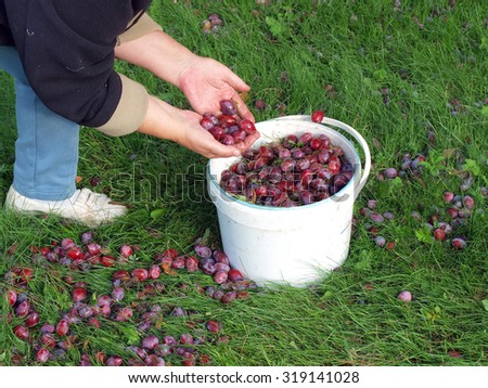 Gathering plums fallen on ground by hands and scoop in to bucket. - stock photo