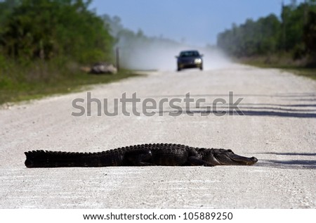 Gator Roadblock in Big Cypress National Preserve, Florida Everglades - stock photo