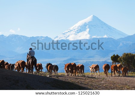 Gauchos and herd of cows on the background the volcano Lanin, Patagonia, Argentina - stock photo