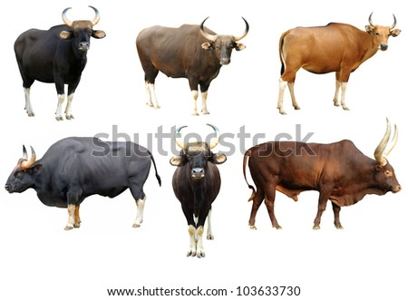 gaur and banteng and watusi collection isolated on white background - stock photo