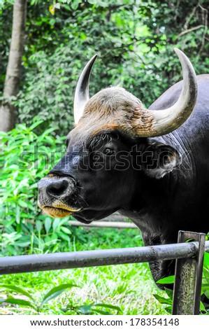 Gaur in black - stock photo