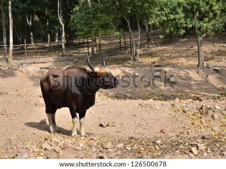Gaur, Jiant black bull in rainforest, Thailand. - stock photo