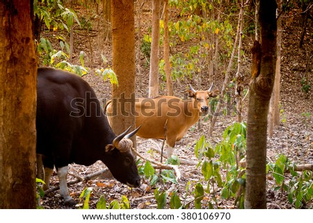 Gaur or Indian bison in the forest - stock photo