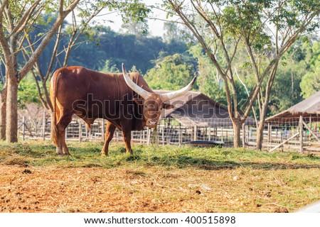 Gaur- wild ox in open public zoo, Thailand. - stock photo