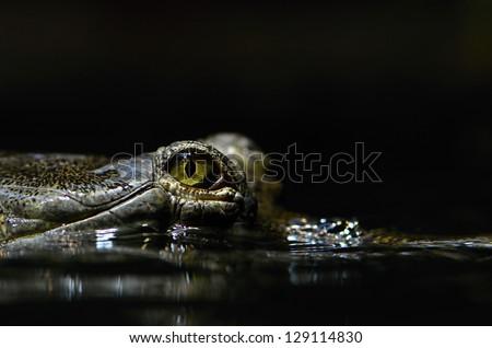 gavial - stock photo