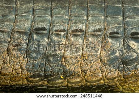 gavial skin. - stock photo