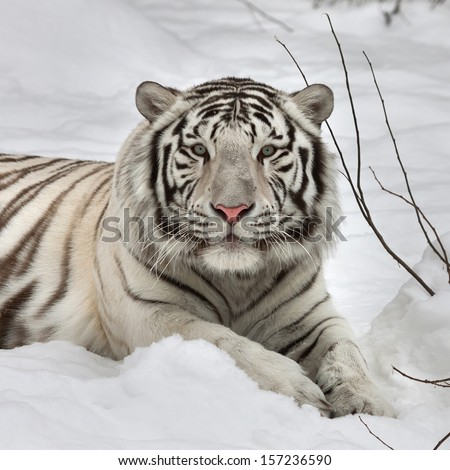 Gaze of a white bengal tiger, lying on fresh snow in alert pose. The most beautiful animal and very dangerous beast of the world. This severe raptor is a pearl of the wildlife. Animal face portrait. - stock photo