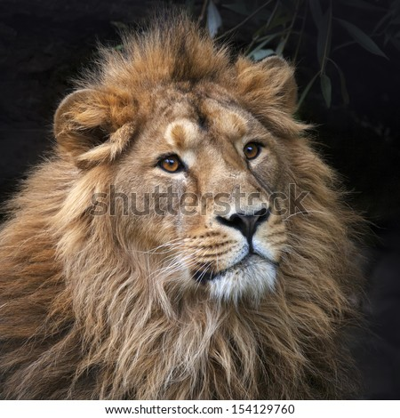 Gaze of an Asian lion in forest shadow. Calmness of the King of beasts, biggest cat of the world. The most dangerous and mighty predator of the world. Square image.  - stock photo