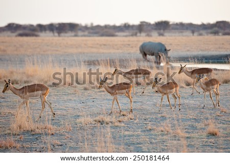 Gazelle and rhinoceros, Botswana, Kalahari Desert, Africa - stock photo