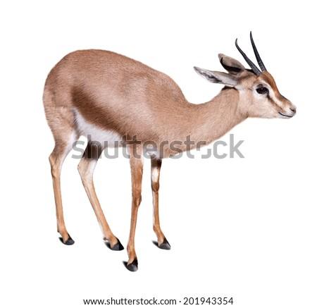 gazelle (Gazella dorcas).  Isolated over white background - stock photo