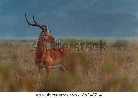 gazelle in sunset - stock photo
