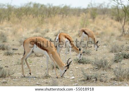 Gazelle in the bush - stock photo