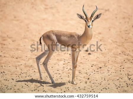 Gazelle in the desert near Dubai, United Arab Emirates. - stock photo