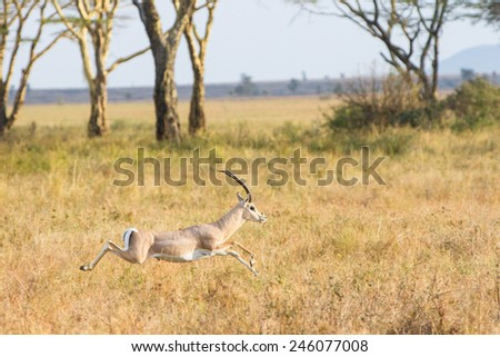 Gazelle jumping - stock photo