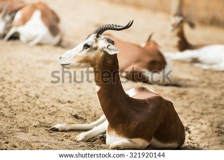 Gazelle portrait in a zoo. - stock photo