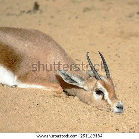 Gazelle resting on sun - stock photo