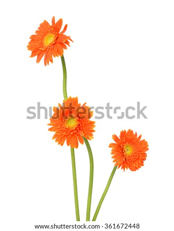 gebera (african daisy) isolated on white - stock photo