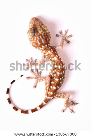 Gecko climbing on white background - stock photo