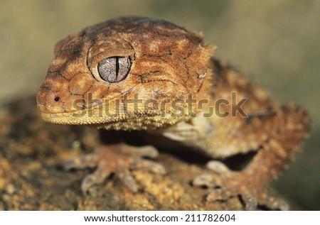 Gecko close-up - stock photo
