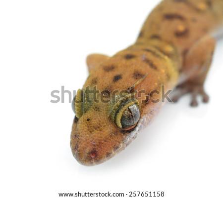 Gecko (Gekkonidae) on white background - stock photo