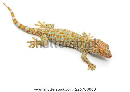 gecko isolated on white background - stock photo