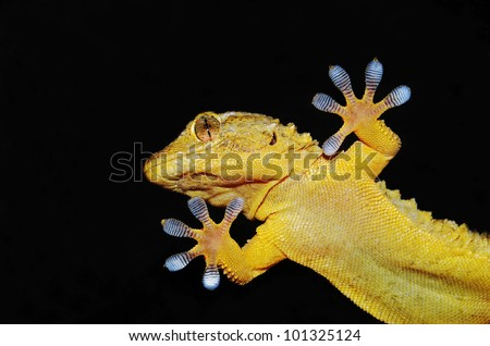 gecko lizard showing its ten adhesive fingers