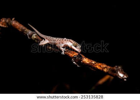 Gecko on a branch at night - stock photo