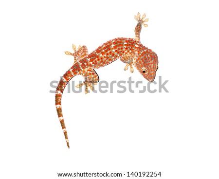 gecko on white background - stock photo
