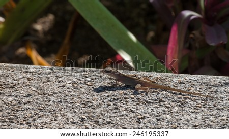 Gecko rests in the sun on a cement wall in Mexico