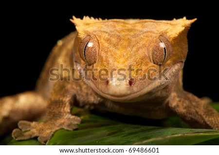 Gecko Smile - stock photo