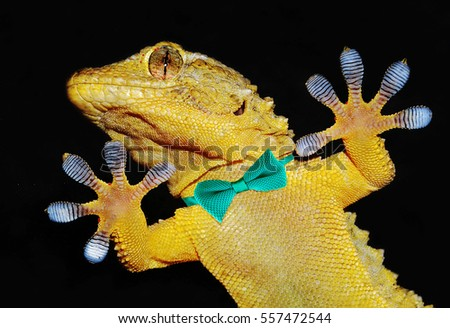 gecko with bowtie showing adhesive fingers