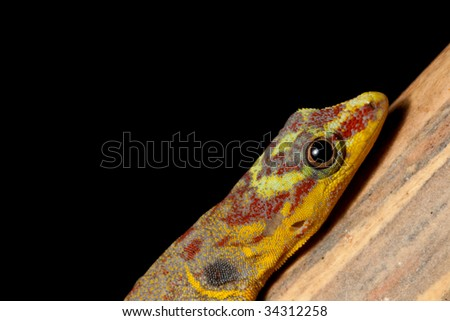 gecko with colored head Gonatodes humerales