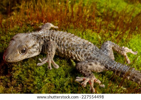 Geco body close up on the grass with red grass background - stock photo
