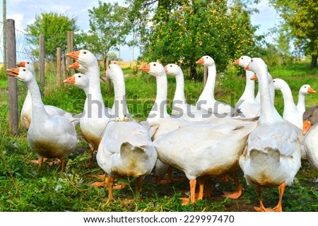 Geese - stock photo