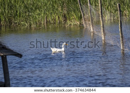Geese are waterfowl belonging to the tribe Anserini of the family Anatidae