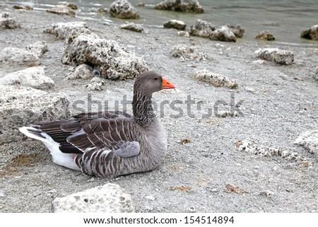 Geese at lake Kournas at island Crete, Greece - stock photo