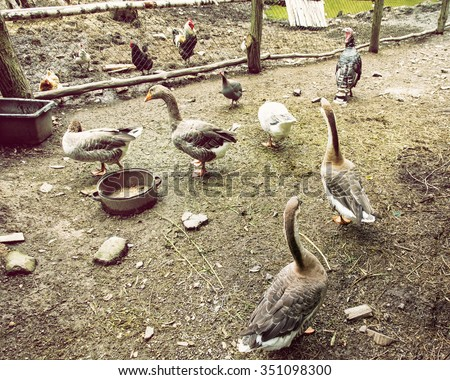 Geese, chickens and turkeys in the farm. Domestic animals. - stock photo