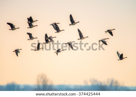 geese flying - stock photo