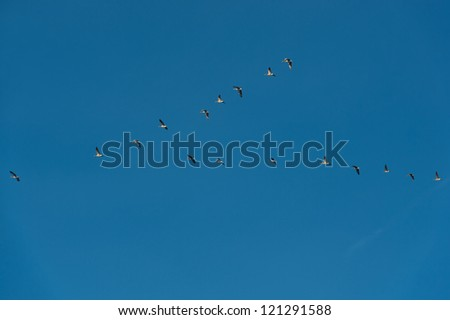 geese flying in the blue sky - stock photo