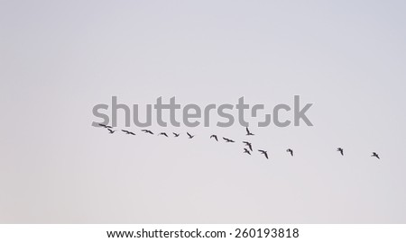 Geese flying in the sky at dawn - stock photo