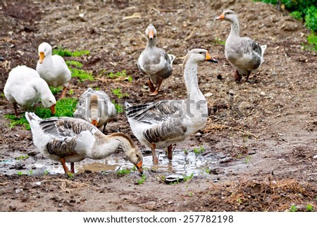 Geese gray against the brown earth and water - stock photo