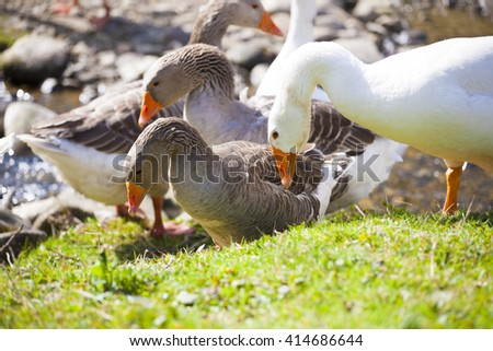 Geese grazing on pasture near the water on a Sunny day. - stock photo
